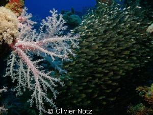 Glas fishes with soft coral by Olivier Notz 
